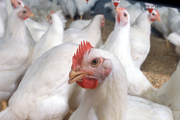 Premezclas vitaminico minerales aves